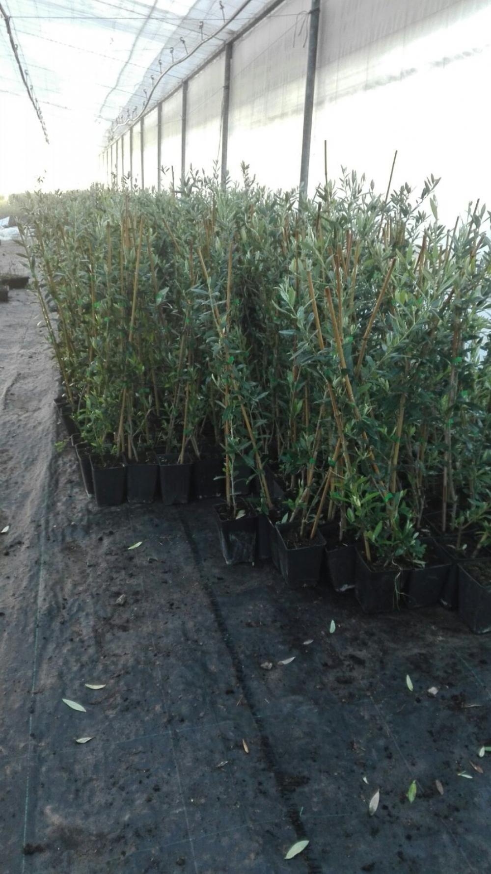 Viveroleosur empresa de venta de plantas en m laga donde for Viveros frutales chile